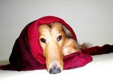 Perro en manta roja Imagen de archivo libre de regalías