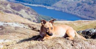 Perro en montañas - perro lindo del rescate que camina en montañas escocesas imágenes de archivo libres de regalías