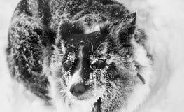 Perro en nieve Fotos de archivo libres de regalías
