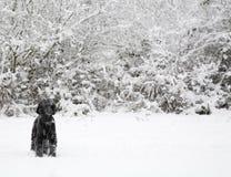 Perro en nieve del invierno Fotografía de archivo