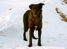 Perro en nieve del invierno Fotografía de archivo libre de regalías