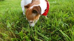 Perro en otside rojo de la hierba de la consumición del pañuelo durante el paseo Imágenes de vídeo metrajes