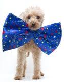 Perro en pajarita grande Fotografía de archivo