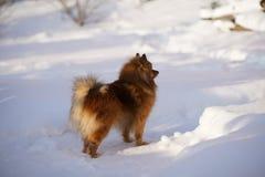 Perro en paseo del invierno Imagen de archivo libre de regalías