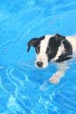 Perro en piscina Fotos de archivo libres de regalías