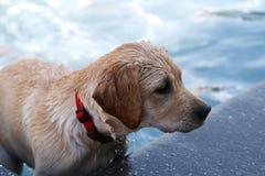 Perro en piscina Foto de archivo libre de regalías