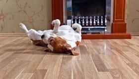 Perro en piso de madera imagenes de archivo