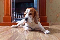 Perro en piso de madera foto de archivo