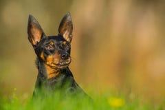 Perro en prado Foto de archivo libre de regalías