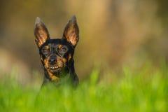 Perro en prado Fotos de archivo