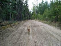 Perro en rastro Foto de archivo