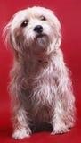 Perro en rojo Fotografía de archivo