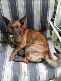 Perro en silla Fotos de archivo libres de regalías