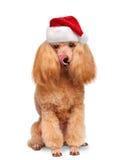 Perro en sombreros rojos de la Navidad foto de archivo