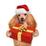 Perro en sombreros rojos de la Navidad con el regalo imagen de archivo libre de regalías