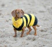 Perro en suéter de la abeja Foto de archivo