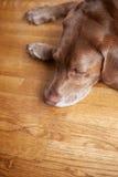Perro en suelo de madera dura Fotografía de archivo libre de regalías