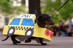 Perro en traje durante desfile del perro basset imagen de archivo