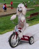 Perro en trike Imagen de archivo libre de regalías