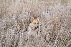 Perro en un campo fotos de archivo libres de regalías