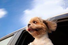 Perro en un coche Imágenes de archivo libres de regalías