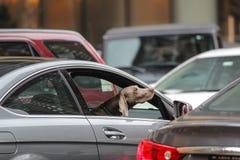 Perro en un coche Imagen de archivo