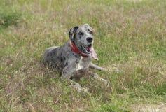 perro en un cuello rojo que miente en la hierba verde Imagen de archivo