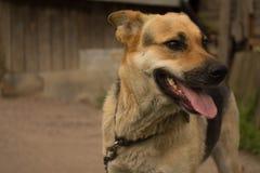 Perro en un encadenamiento Fotografía de archivo libre de regalías