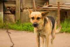 Perro en un encadenamiento Foto de archivo libre de regalías