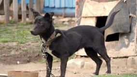 Perro en un encadenamiento El perro protege la casa metrajes