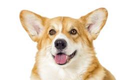 Perro en un fondo blanco imagen de archivo