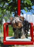 Perro en un oscilación Foto de archivo