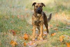 Perro en un parque del otoño Imágenes de archivo libres de regalías