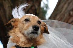 Perro en un velo nupcial Imagenes de archivo