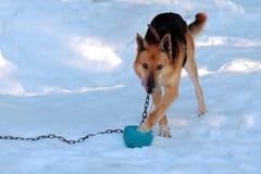 Perro en una cadena en la yarda Fotografía de archivo libre de regalías