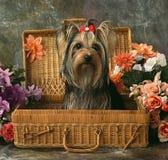 Perro en una caja del zarzo Imagenes de archivo