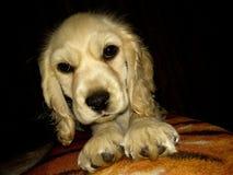 Perro en una cama suave Fotos de archivo libres de regalías