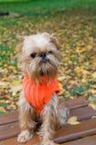 Perro en una caminata del otoño Foto de archivo libre de regalías