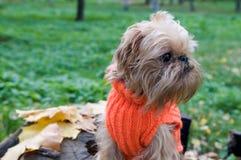 Perro en una caminata del otoño Fotografía de archivo libre de regalías