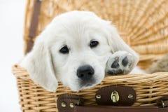Perro en una cesta Imagen de archivo