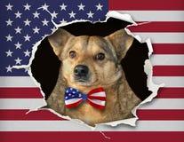 Perro en una corbata de lazo detrás del nosotros bandera fotografía de archivo