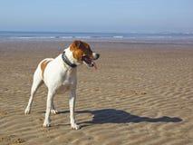 Perro en una playa Imágenes de archivo libres de regalías