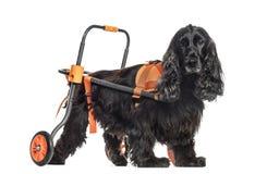 Perro en una silla de ruedas, inglés cocker spaniel 8 años imagenes de archivo
