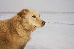 Perro en una tempestad de nieve Fotos de archivo