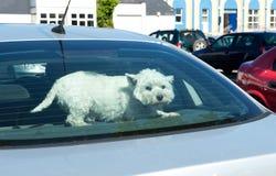 Perro en una ventana trasera del coche Imagenes de archivo
