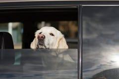 Perro en ventana de coche Foto de archivo libre de regalías