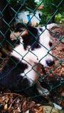 Perro encadenado fotografía de archivo libre de regalías