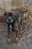 Perro encadenado Fotografía de archivo