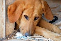 Perro encadenado con el candado foto de archivo