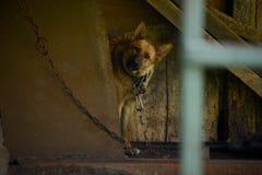 Perro encadenado en el pueblo ruso Fotografía de archivo